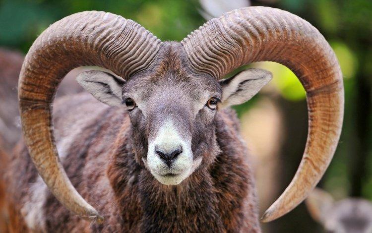взгляд, рога, мех, баран, муфлон, look, horns, fur, ram, mouflon