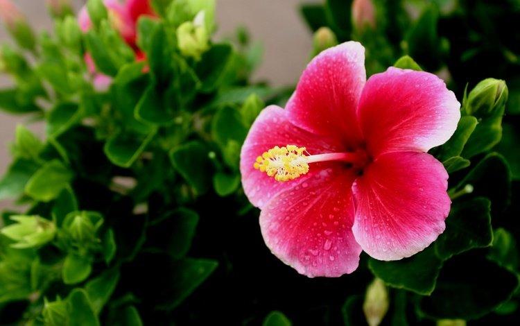 зелень, листья, цветок, пестик, тропики, гавайи, гибискус, greens, leaves, flower, pistil, tropics, hawaii, hibiscus