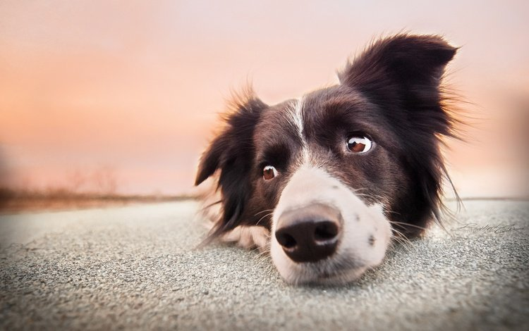 eyes, face, look, dog, the border collie