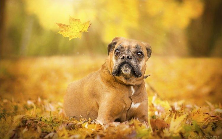 глаза, взгляд, осень, собака, лист, боксер, eyes, look, autumn, dog, sheet, boxer