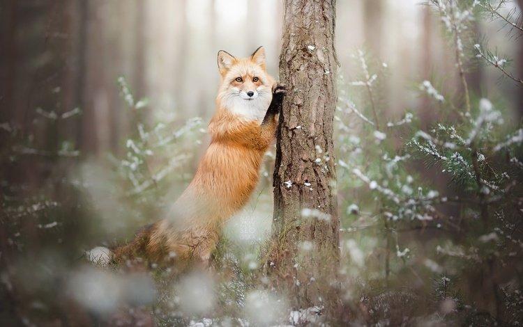 лес, зима, лиса, лисица, животное, forest, winter, fox, animal