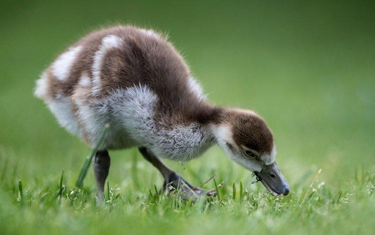 птенец, птица, травка, гусь, боке, гусенок, chick, bird, weed, goose, bokeh, gosling