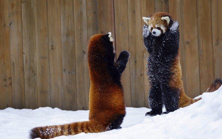 снег, животные, красная панда, панды, малая панда, snow, animals, red panda, panda