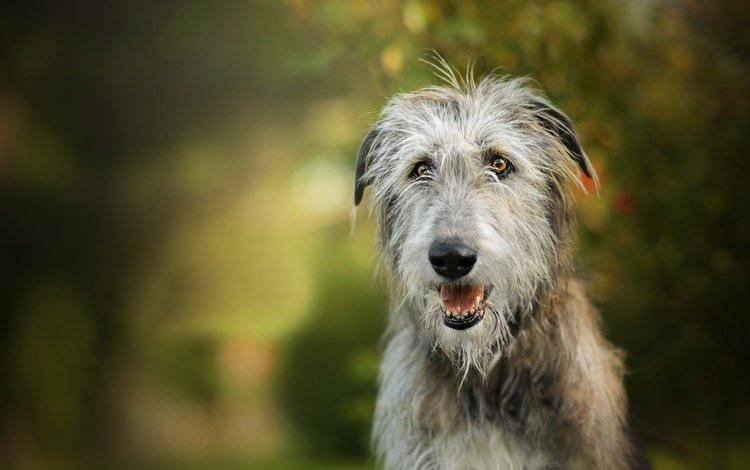 собака, боке, ирландский волкодав, dackelpuppy, igraine, dog, bokeh, the irish wolfhound