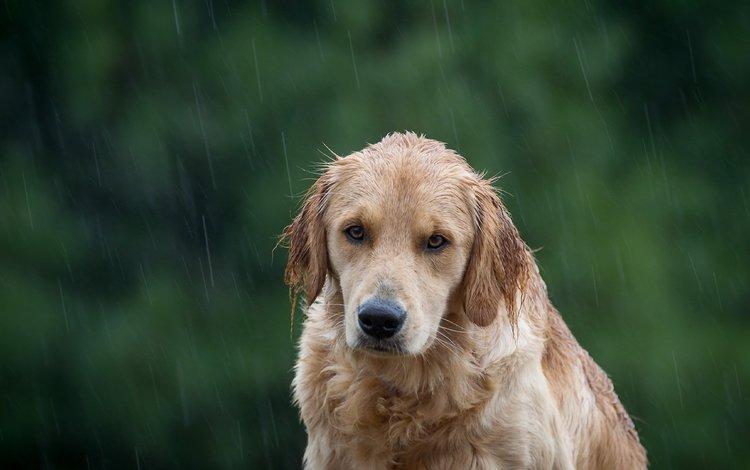 собака, дождь, золотистый ретривер, dog, rain, golden retriever