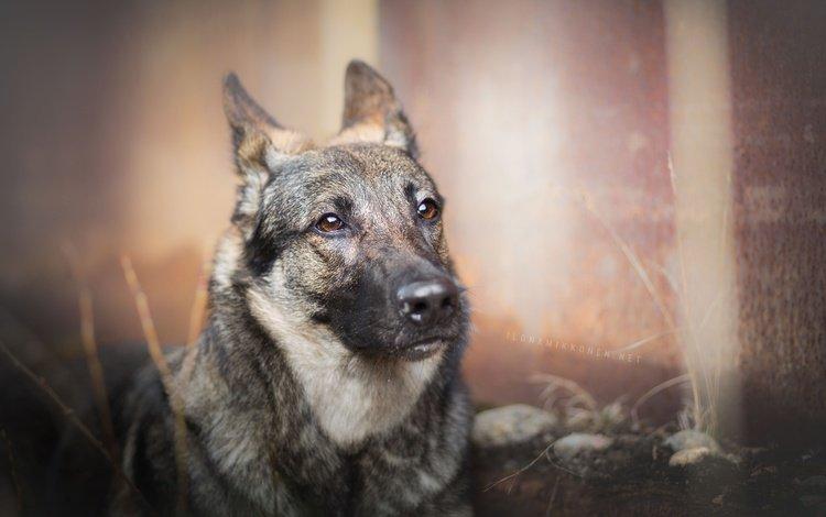 взгляд, собака, друг, molly, photography ilona mikkon, look, dog, each
