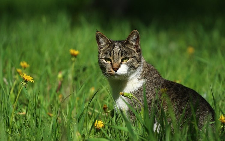 цветы, зелень, кот, кошка, травка, мордашка, одуванчики, киса, flowers, greens, cat, weed, face, dandelions, kitty