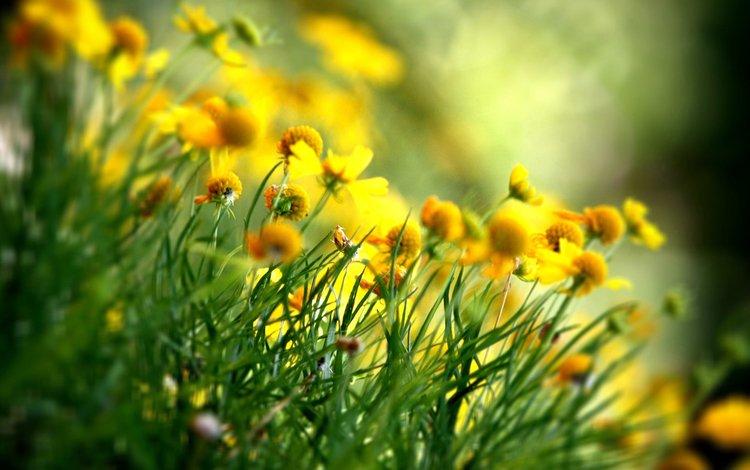 цветы, лепестки, весна, желтые, полевые цветы, flowers, petals, spring, yellow, wildflowers