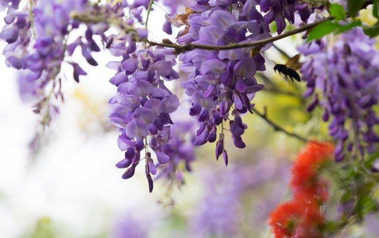 цветы, насекомое, ветки, глициния, вистерия, flowers, insect, branches, wisteria