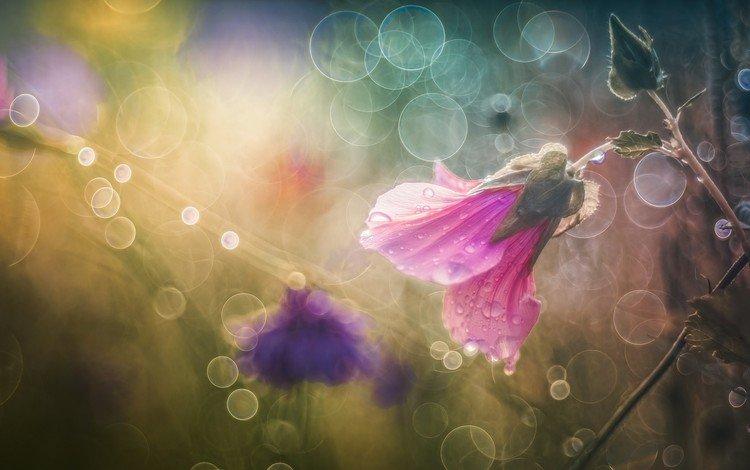 flowers, water, macro, flower, rosa, drops, pink, bokeh, mallow