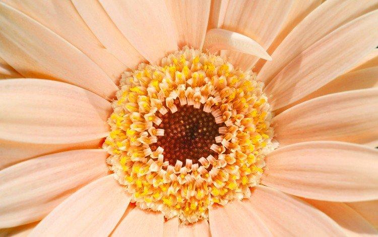 цветок, лепестки, кремовый, гербера, маргаритка, flower, petals, cream, gerbera, daisy