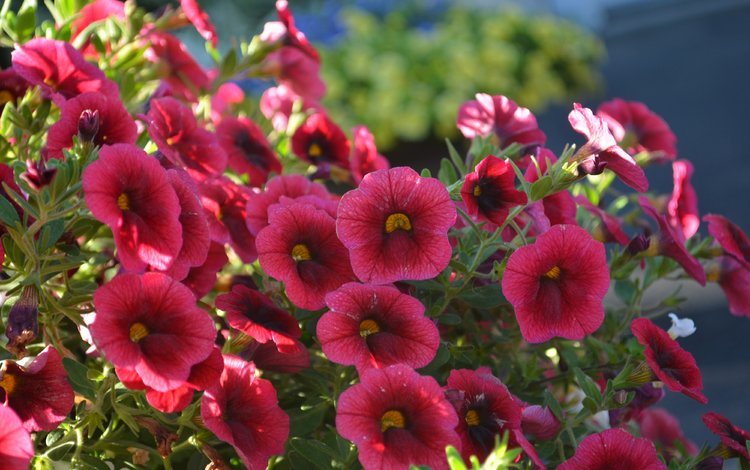 цветы, бордовые, калибрахоа, flowers, burgundy, calibrachoa