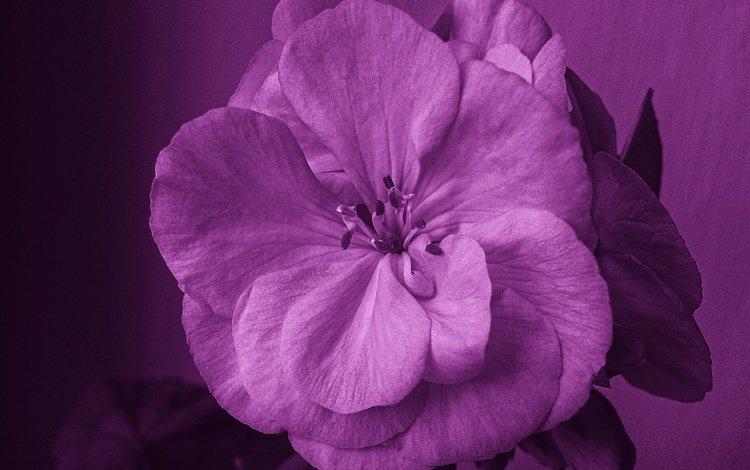 цветы, природа, лепестки, герань, flowers, nature, petals, geranium