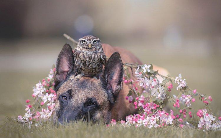цветы, животное, трава, пес, малинуа, сова, бельгийская овчарка, ветка, природа, собака, птица, весна, flowers, animal, grass, malinois, owl, belgian shepherd, branch, nature, dog, bird, spring
