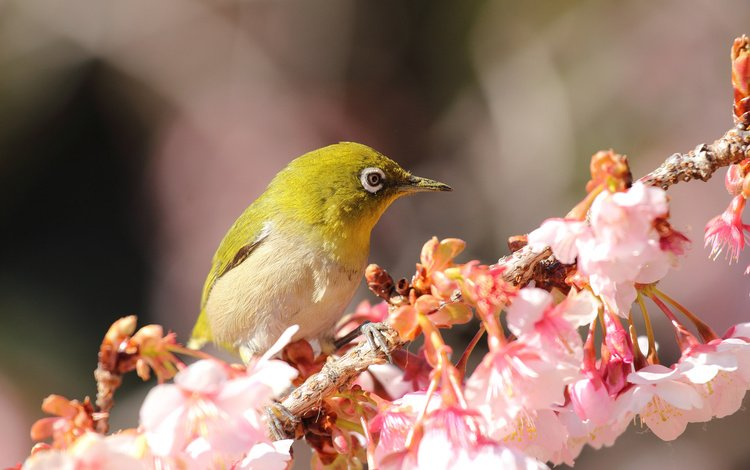 цветы, ветка, цветение, птица, весна, белоглазка, flowers, branch, flowering, bird, spring, white-eyed