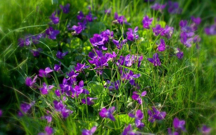 Мелкие фиолетовые полевые цветы в зеленой траве