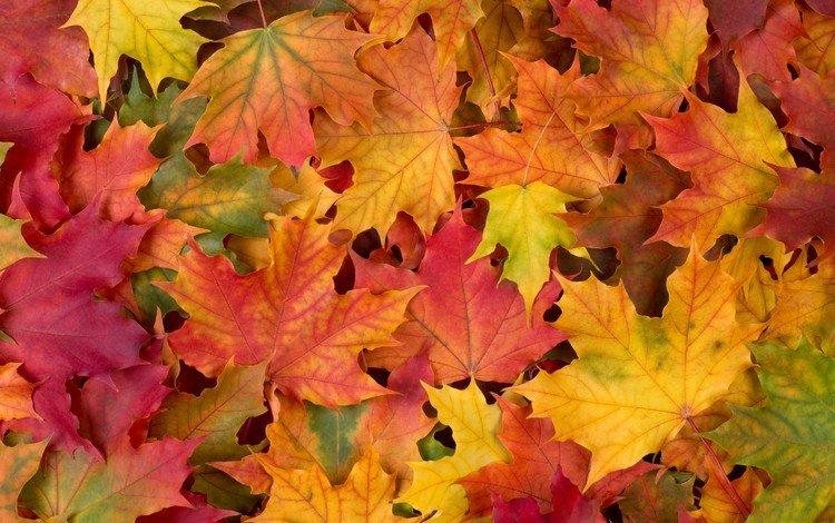 листья, разноцветные, осень, клен, leaves, colorful, autumn, maple