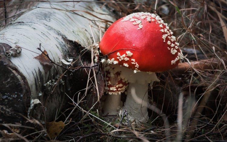 природа, фон, грибы, мухомор, nature, background, mushrooms, mushroom