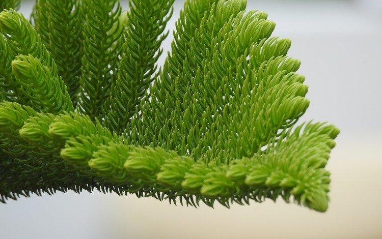 ветка, хвоя, макро, растение, иголки, branch, needles, macro, plant