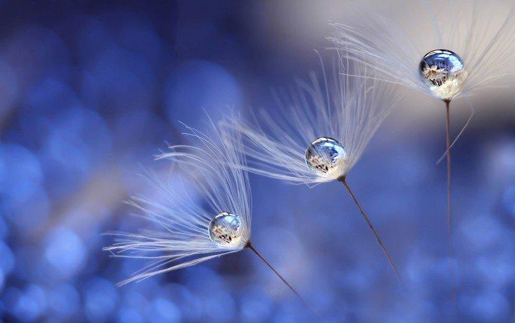 вода, былинки, макро, роса, капли, одуванчик, семена, пушинки, боке, water, blade, macro, rosa, drops, dandelion, seeds, fuzzes, bokeh