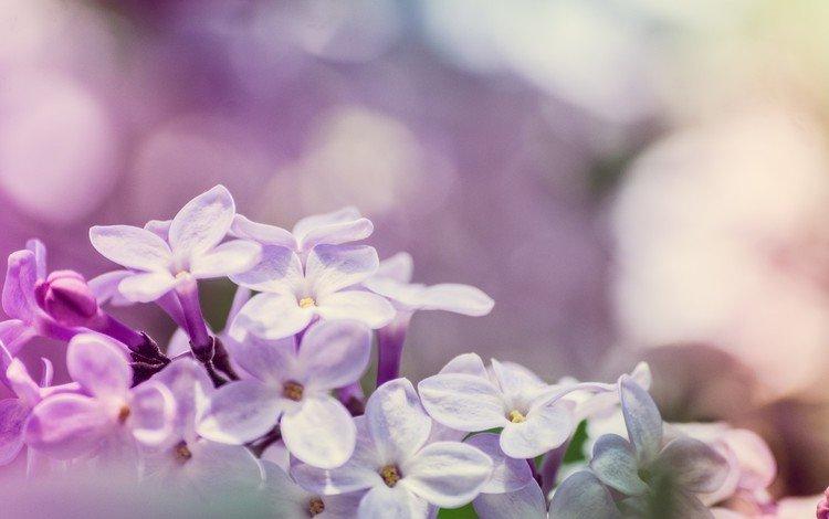 цветы, цветение, макро, весна, сирень, боке, flowers, flowering, macro, spring, lilac, bokeh