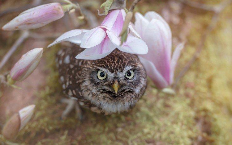 цветы, магнолия, сова, сыч, кроличий сыч, ветка, природа, бутоны, птица, весна, розовые цветы, flowers, magnolia, owl, burrowing owl, branch, nature, buds, bird, spring, pink flowers