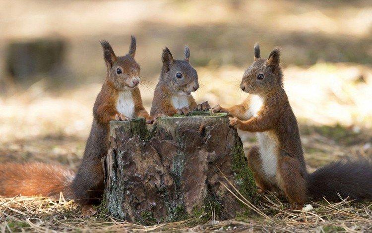 листья, осень, три, хвост, пенек, белки, грызун, белочки, leaves, autumn, three, tail, stump, proteins, rodent, squirrels