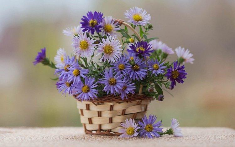 цветы, корзина, астры, астра альпийская, flowers, basket, asters, alpine aster