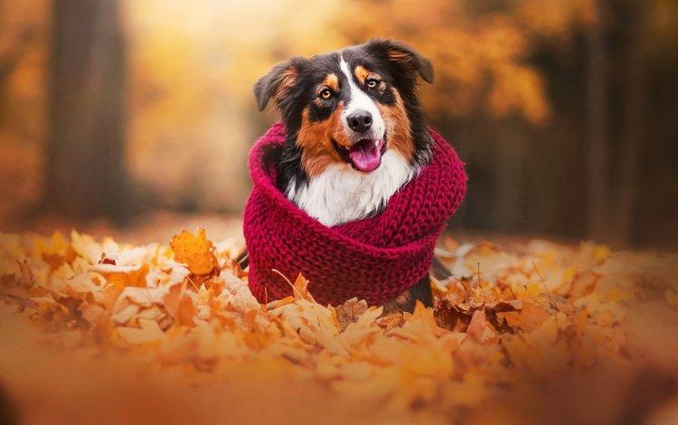 листья, осень, собака, шарф, австралийская овчарка, аусси, leaves, autumn, dog, scarf, australian shepherd, aussie