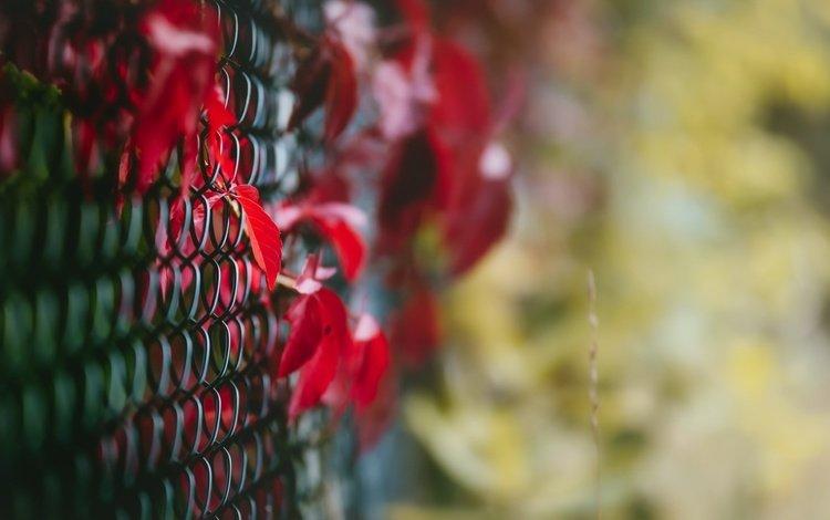 листья, макро, осень, забор, сетка, leaves, macro, autumn, the fence, mesh