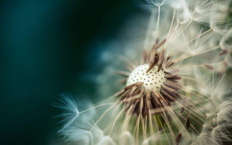 макро, цветок, одуванчик, пушинки, macro, flower, dandelion, fuzzes