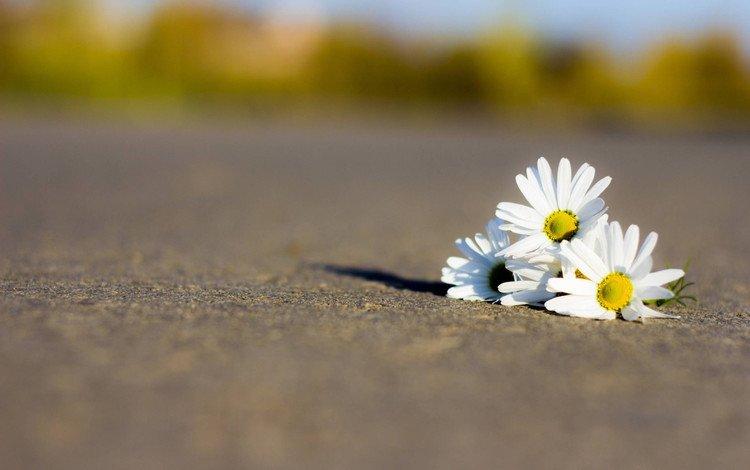 дорога, цветы, лепестки, ромашки, белые, road, flowers, petals, chamomile, white