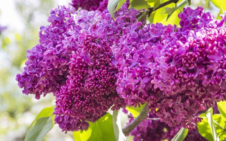 цветы, цветение, весна, сирень, flowers, flowering, spring, lilac