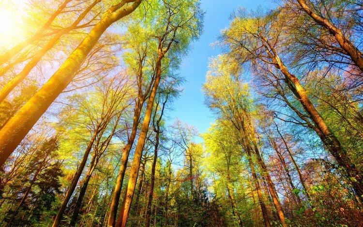 деревья, природа, лес, стволы, солнечный свет, trees, nature, forest, trunks, sunlight