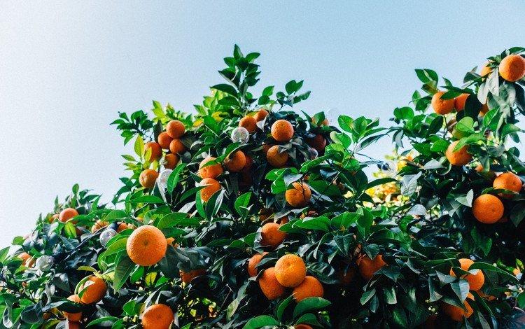 листья, фрукты, кустарник, мандарины, цитрусы, leaves, fruit, shrub, tangerines, citrus