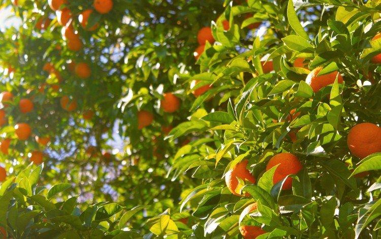 дерево, листья, фрукты, апельсины, tree, leaves, fruit, oranges