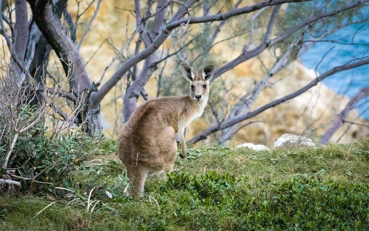 трава, дерево, животное, австралия, кенгуру, grass, tree, animal, australia, kangaroo