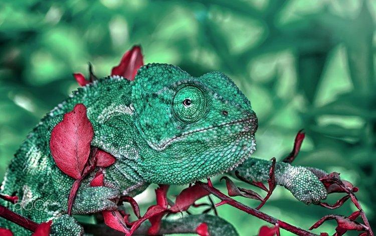 макро, ящерица, хамелион, macro, lizard, chameleon