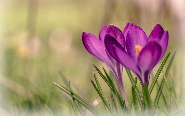 цветы, трава, весна, крокусы, flowers, grass, spring, crocuses