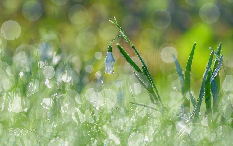 цветы, трава, подснежники, боке, flowers, grass, snowdrops, bokeh