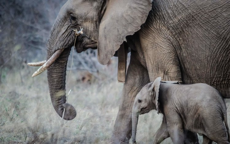 слон, прогулка, слоны, хобот, детеныш, слоненок, бивни, elephant, walk, elephants, trunk, cub, tusks