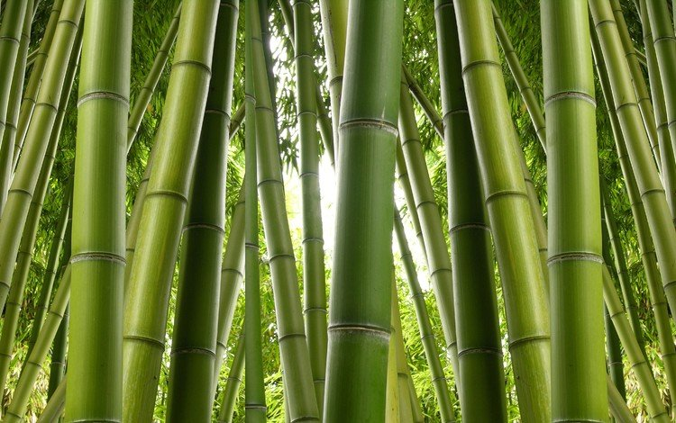 природа, бамбук, заросли, nature, bamboo, thickets