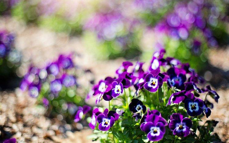 цветы, анютины глазки, flowers, pansy