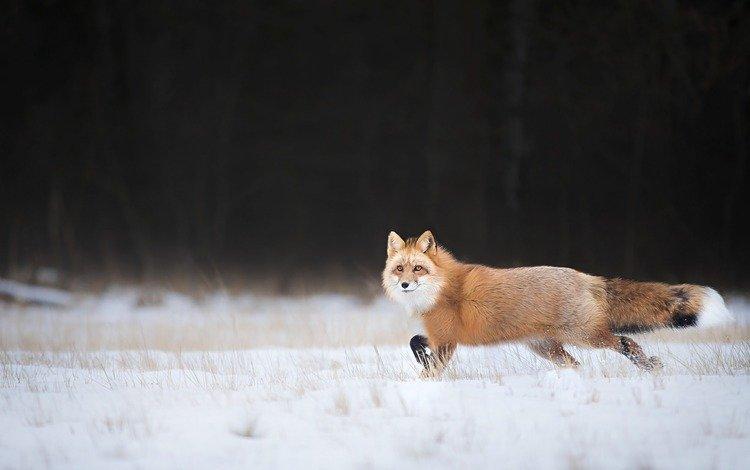 снег, зима, взгляд, лиса, лисица, хвост, snow, winter, look, fox, tail