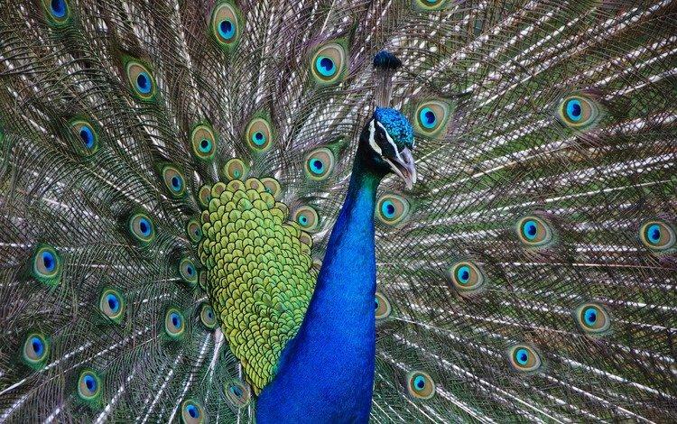 птица, клюв, павлин, хвост, оперение, bird, beak, peacock, tail