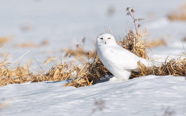 сова, снег, птица, полярная сова, белая сова, owl, snow, bird, snowy owl, white owl
