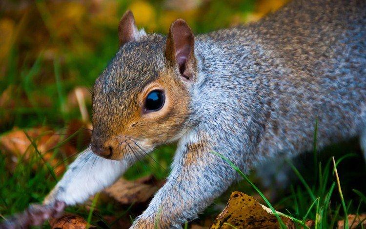 природа, лес, белка, крупный план, белочка, nature, forest, protein, close-up, squirrel