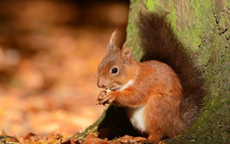 природа, лес, орехи, белка, белочка, nature, forest, nuts, protein, squirrel