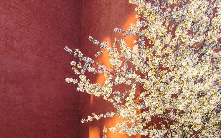 дерево, цветение, стена, весна, tree, flowering, wall, spring