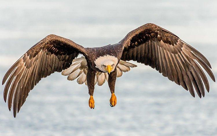 полет, крылья, птица, клюв, белоголовый орлан, flight, wings, bird, beak, bald eagle